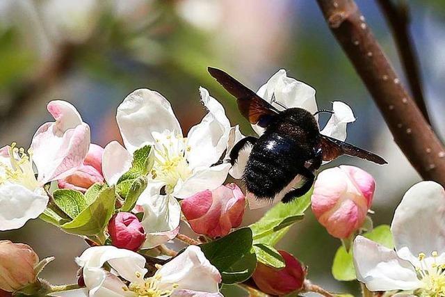 Fleißige Holzbiene in Herdern unterwegs