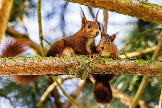 In Umkirch gibt es Eichhörnchen-Babys