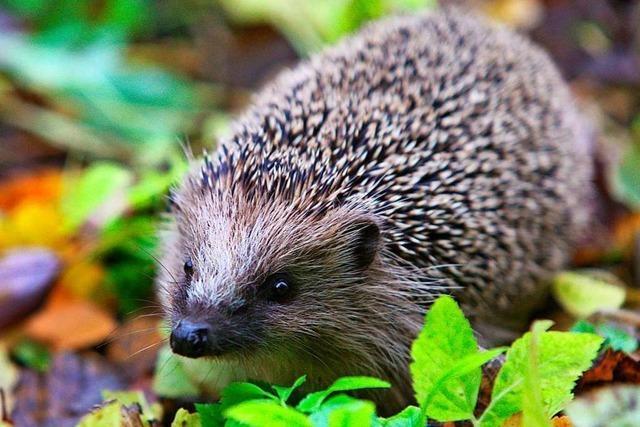 Igelstation der Rekorde: 170 Tiere erwachen aus dem Winterschlaf