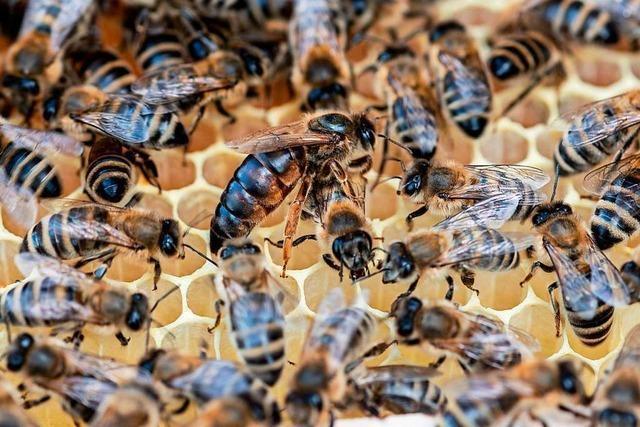 Begattete Bienenköniginnen des Imkervereins Kandertal gestohlen