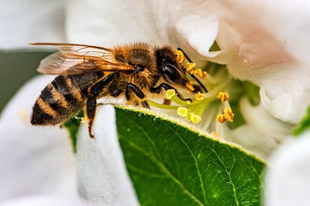 Warum summen Bienen?  | Foto: Armin Weigel (dpa)