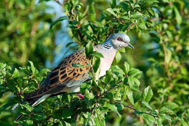Die Turteltaube steht auf der Liste der bedrohten Vogelarten