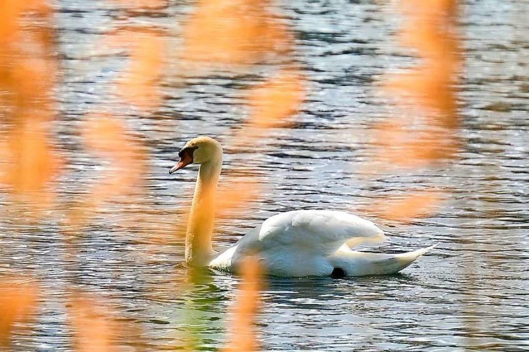Schwäne an den Freiburger Seen, hier e...e, brauchen in der Brutzeit ihre Ruhe.  | Foto: Ingo Schneider