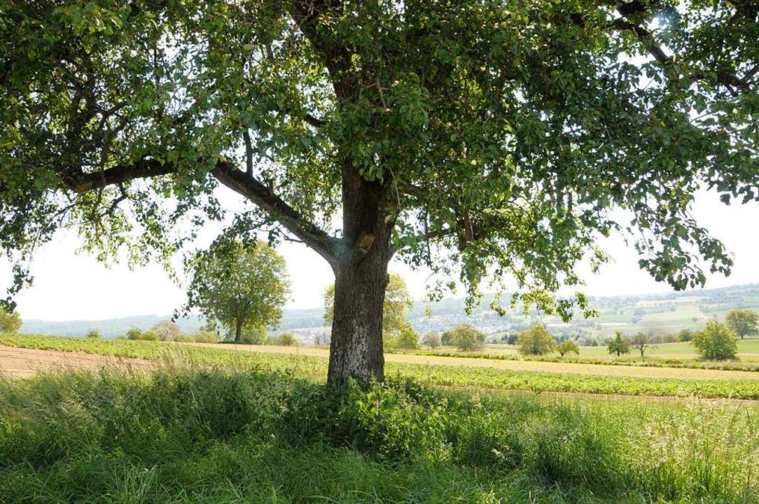 Innerhalb von 50 Jahren sind in Binzen...ten - wie diesen Birnbaum am Feldrand.  | Foto: Regine Ounas-Kräusel