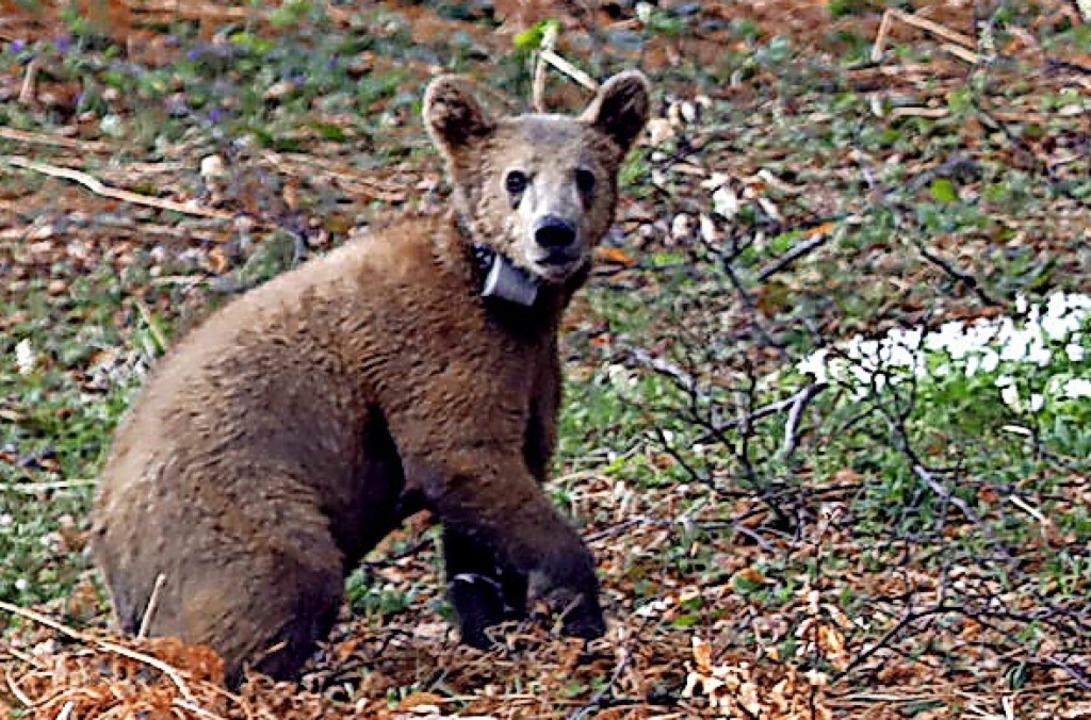 Nix wie weg: einer der  beiden Braunbären auf dem Weg in den Wald.  | Foto: - (dpa)