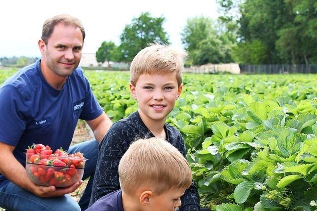 Weil Erntehelfer fehlen, werden in Hartheim Erdbeerfelder vermietet