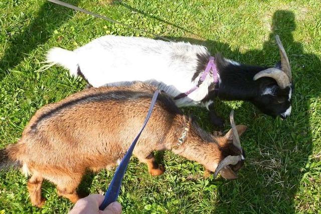 Mundenhof-Mitarbeiter führen pädagogisch trainierte Ziegen aus