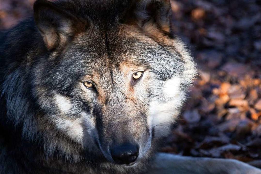 Canis lupus – so lautet der late...chwarzwald identifiziert (Symbolbild).  | Foto: Soeren Stache (dpa)