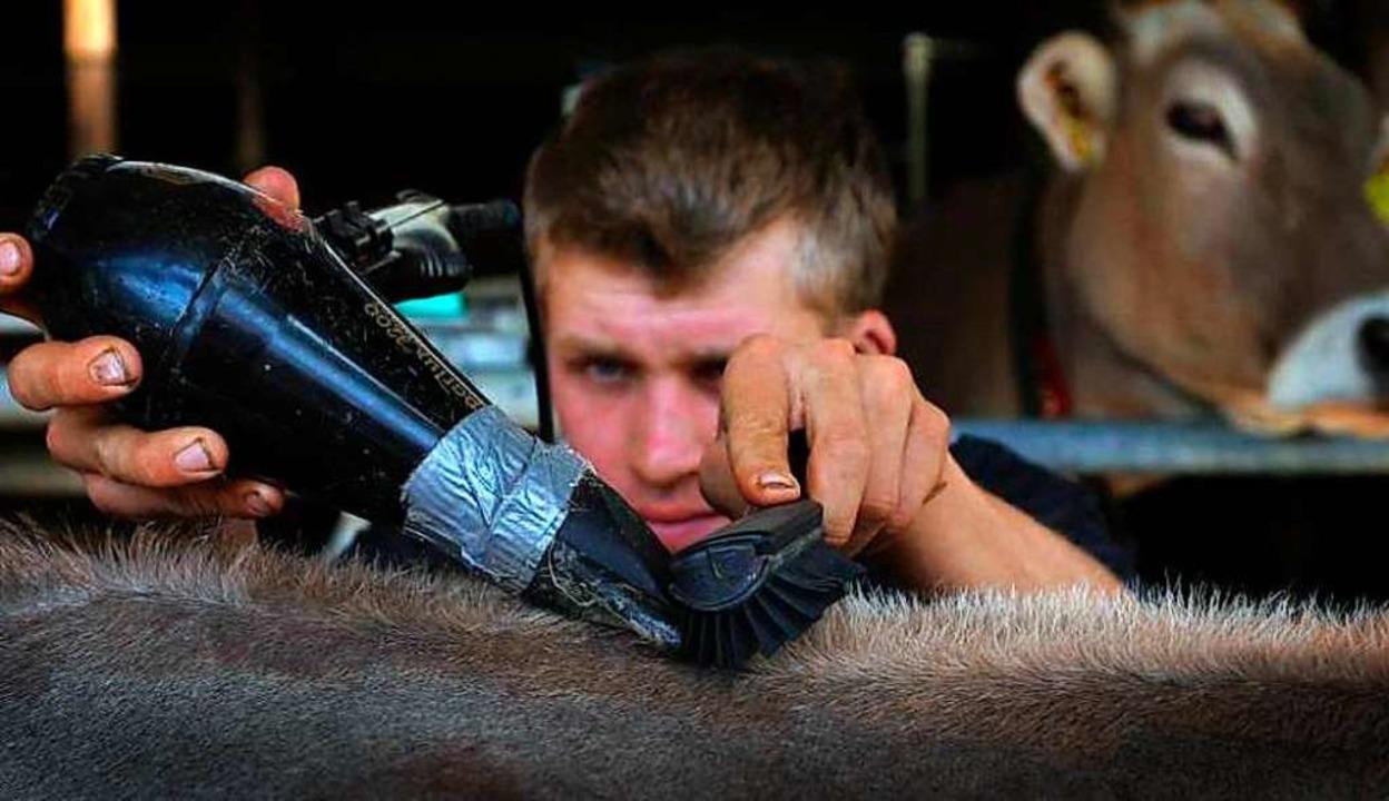 Präzisionsarbeit: Tobias Guggemos kümm...Bauernhof um das Fell von  Kuh Granit.  | Foto: Karl-Josef Hildenbrand (dpa)
