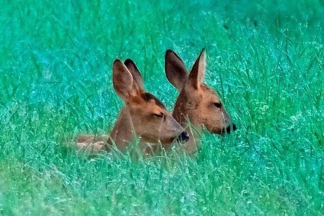 Zwei Rehe verstecken sich in einer Wiese bei Herbolzheim