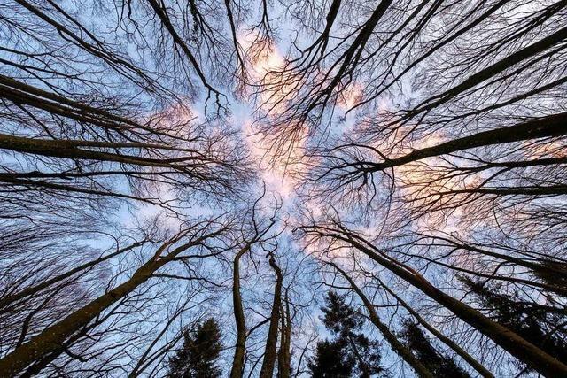 Blick nach oben in die Baumkronen beim Bahlinger Eck