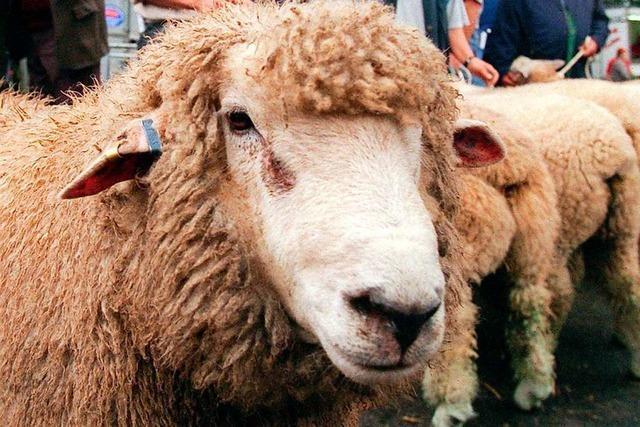 Schafe blockieren zwei Stunden lang die Rheintalbahn bei Hohberg