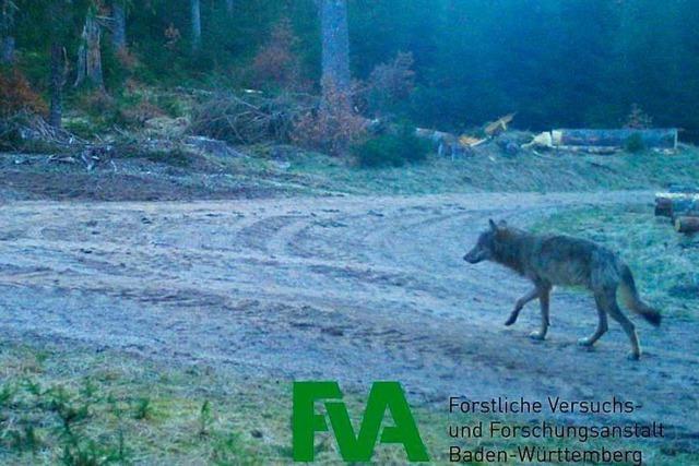 Lässt sich der Wolf am Schluchsee nieder oder zieht er weiter?