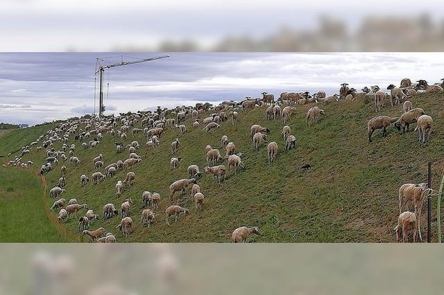 Schafe statt Rasenmäher