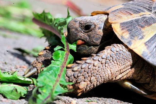 In Grenzach-Wyhlen wurden 16 Landschildkröten gestohlen