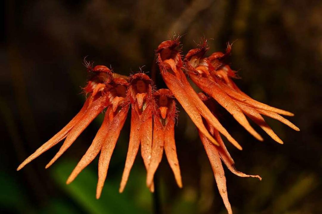 Bulbophyllum electrinum gehört zur Gat...emplare streckten uns die Zungen raus.  | Foto: Otto Schnekenburger
