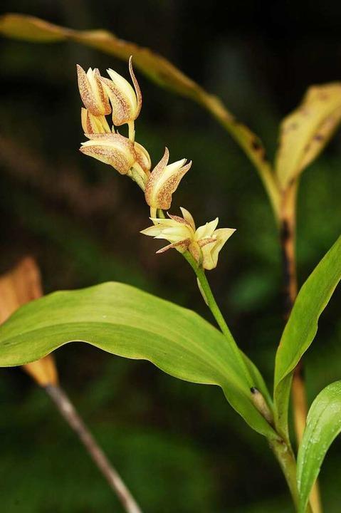 Die letzte ihrer Art: Die Orchideenart...t im Osten Taiwans angesiedelt werden.  | Foto: KBCC Gaoshu Taiwan