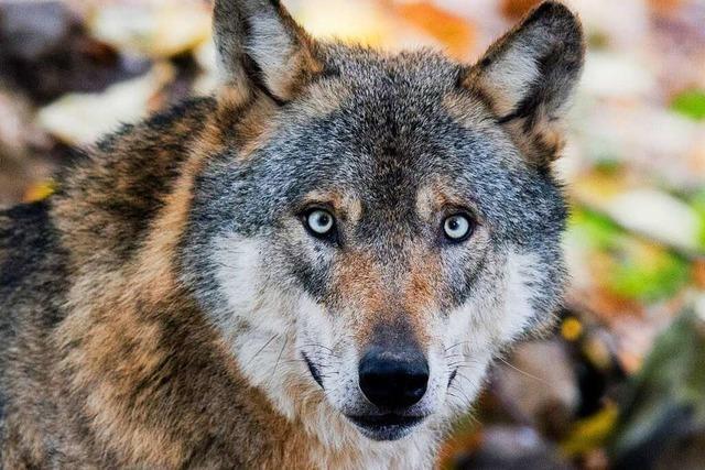 Schutzzaun gegen den Wolf wird immer realistischer – Bauern hegen Zweifel