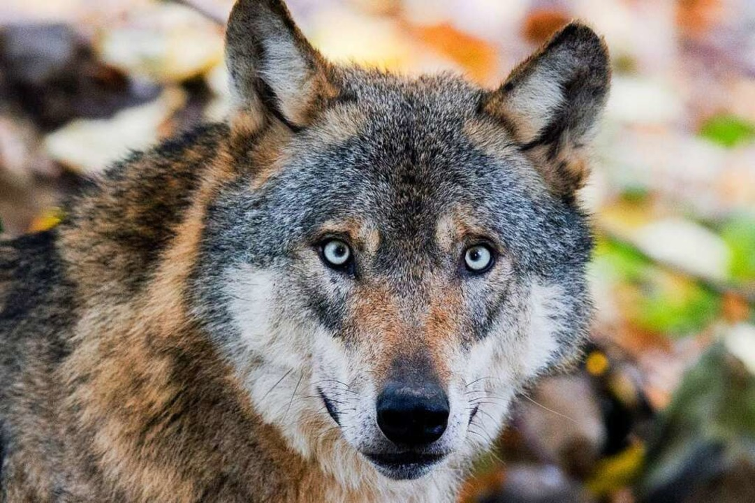 Die einen freuen sich, dass der Wolf i...en könnte, andere fürchten sich davor.  | Foto: Julian Stratenschulte (dpa)