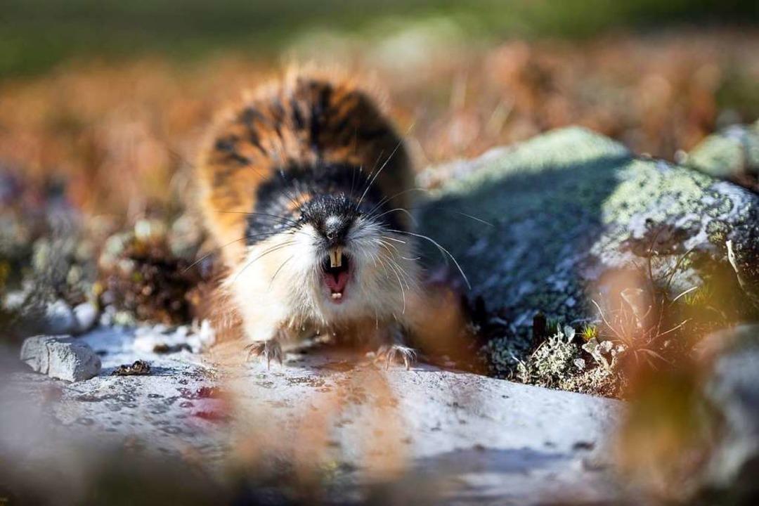 Zeigt dem Fotografen die Zähne: ein Lemming.  | Foto: Jon Anders Wiken