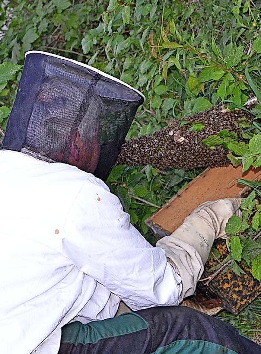 Willi Winterhalder schöpft einen Schwarm Honigbienen am Simonswinkel.   | Foto: Liane Schilling