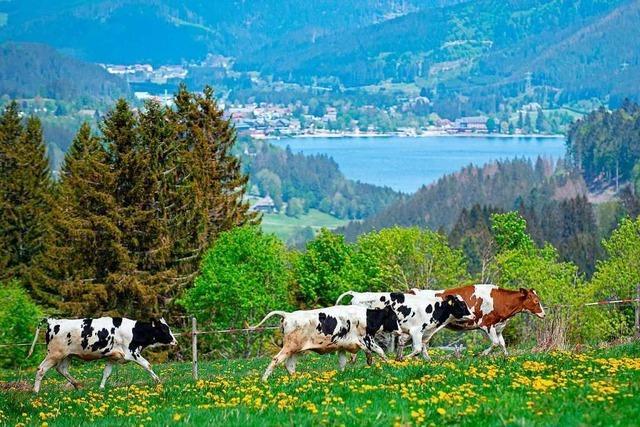 Rund um Feldberg und Schluchsee zieht zum Viehauftrieb Leben ein