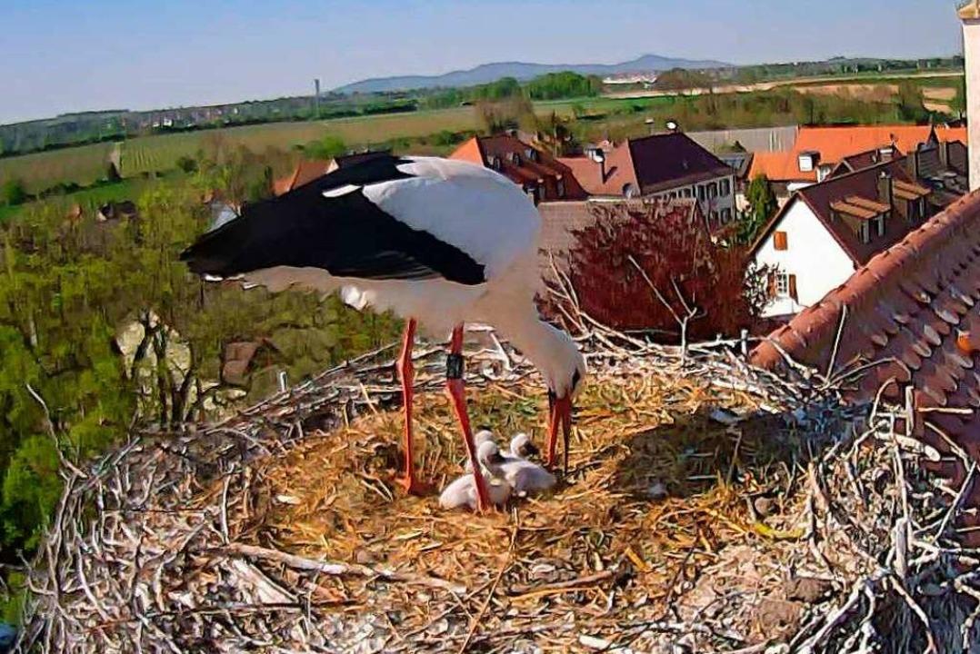 Storch mit Jungtieren im Nest auf der Kirche von Mengen.  | Foto: Gustav Bickel