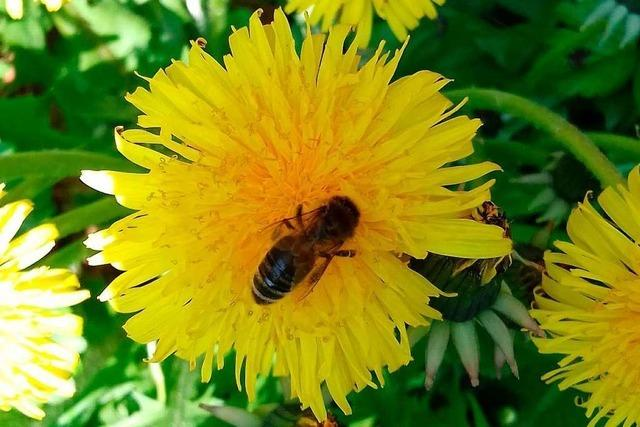 Die Biene ist vom Aussterben bedroht