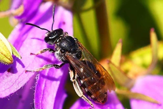 Insektenhotels sind eine Bleibe für bedrohte Arten – und einfach zu bauen