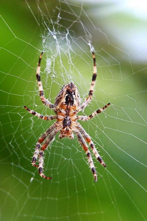 Was passieren kann, wenn eine Spinne n...gs ist, hat sich in Neustadt gezeigt.   | Foto: Karl-Josef Hildenbrand
