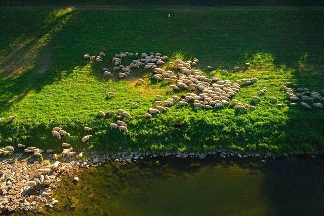Schafe aus der Drohnenperspektive