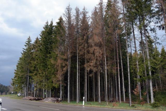 Die Forstbetriebsgemeinschaft Höchenschwanderberg steht in ihrem Jubiläumsjahr vor einer trostlosen Situation