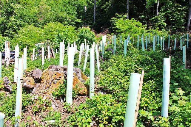 Der Wald in Grenzach-Wyhlen braucht viel mehr Wasser
