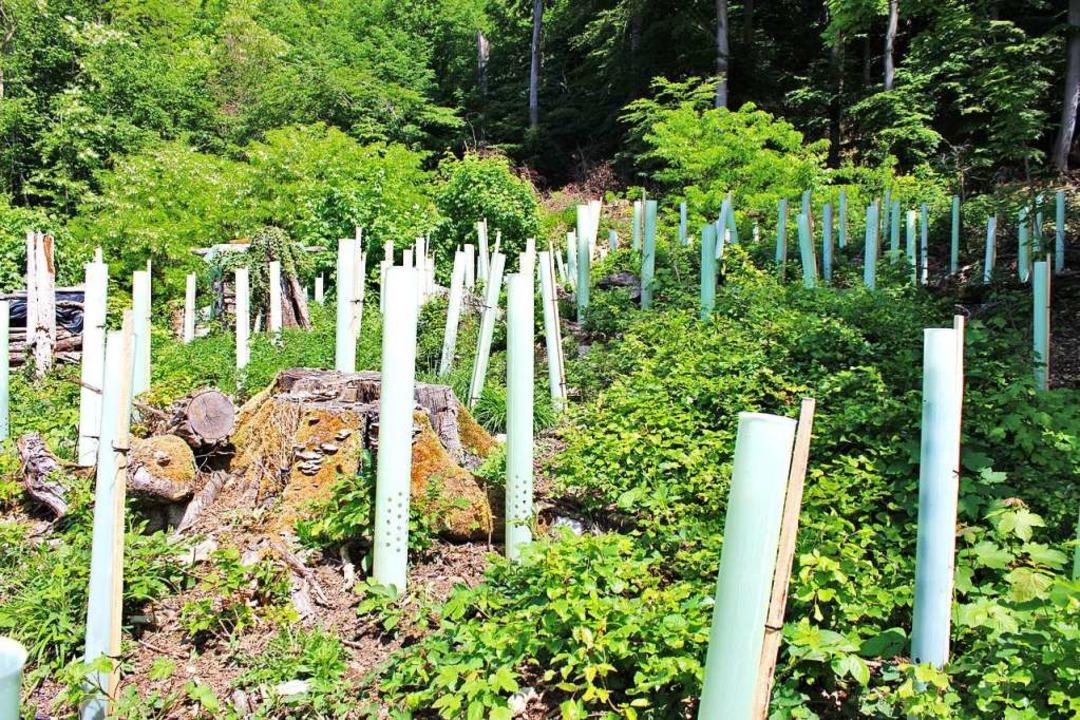 Die an mehreren Stellen im Herbst gepf...ünstiges Kleinklima für die Jungbäume.    Foto: Rolf Reißmann