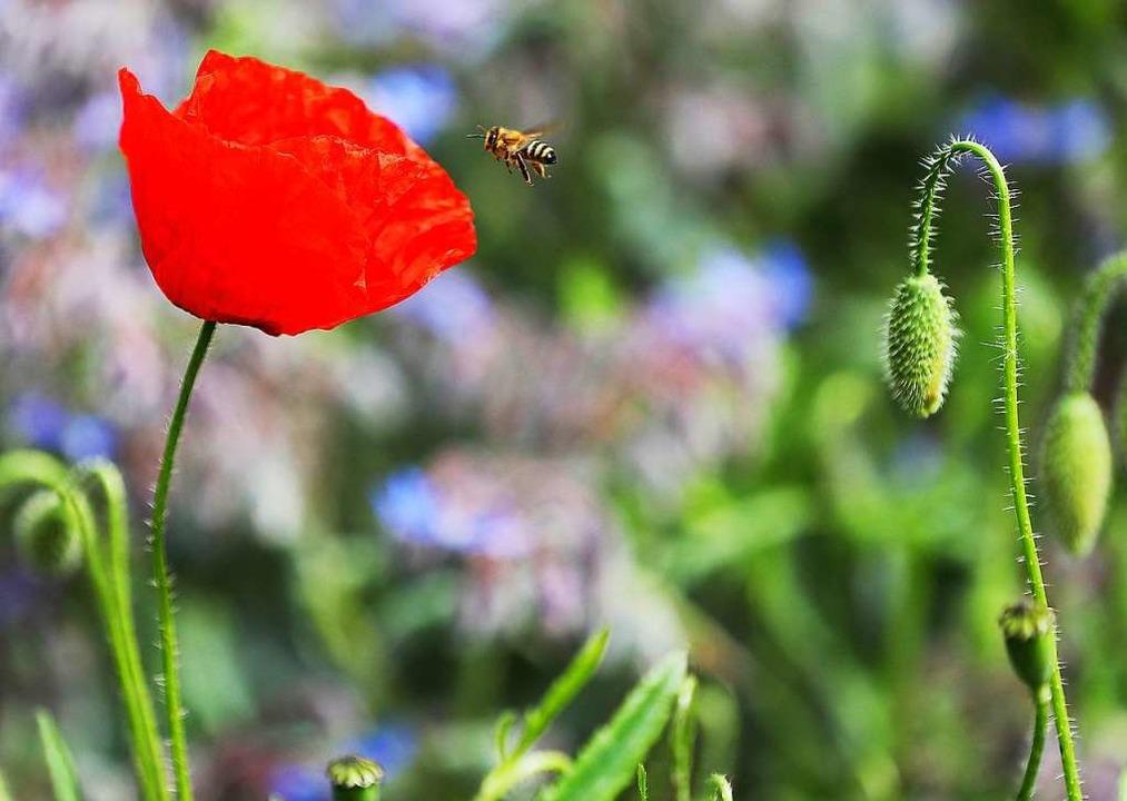 Biene im Anflug   | Foto: Oliver Berg (dpa)