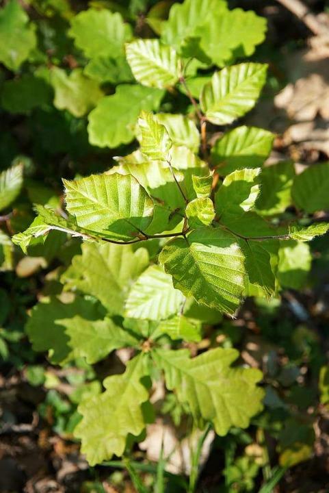 Frisches Grün im Eichwald    Foto: Susanne Ehmann