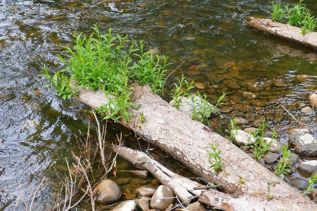 Die Weide wird als nachhaltiges Flussbauelement gerade wiederentdeckt.  | Foto: Victoria Langelott