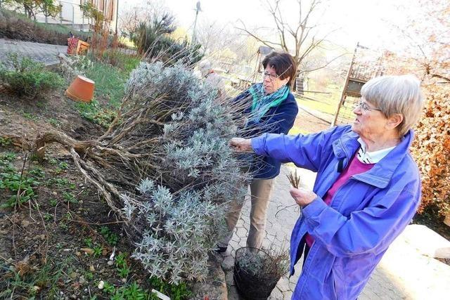Im Kräutergarten der Landfrauen Pfaffenweiler ist Frühjahrsputz angesagt