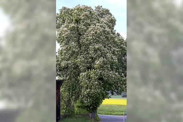 Ungewöhnliche Kastanienblüte