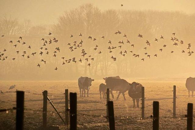 Stare im Nebel im Naturschutzgebiet Rieselfeld