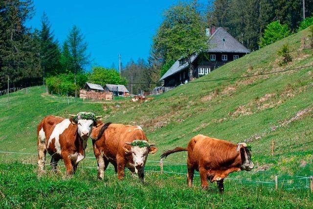 Der Schwarzwaldverein Bonndorf geht unter die Rinderhalter