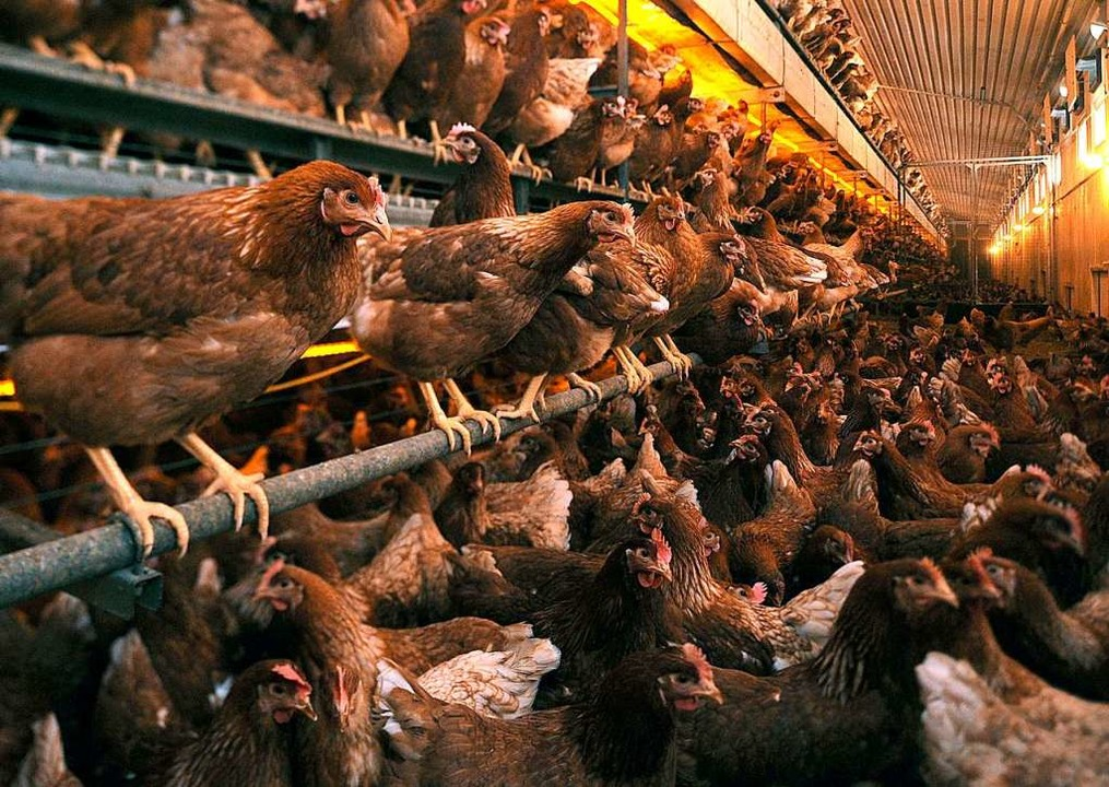 Schön ist anders: Viel zu viele Legehennen in einem Hühnerstall.  | Foto: Ingo Wagner