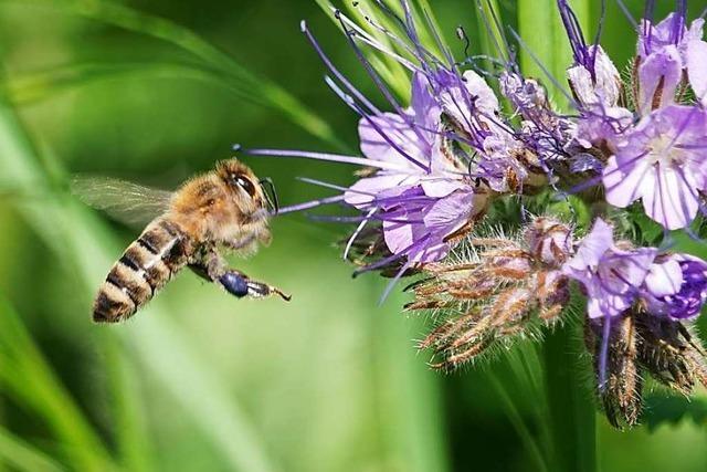 7 Fakten rund um die Biene