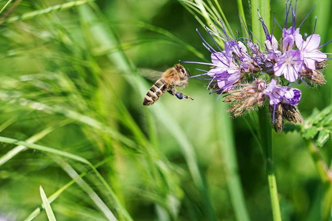 Eine Honigbiene im Anflug auf eine Phacelia in Ihringen.  | Foto: Eugenie Fiedler