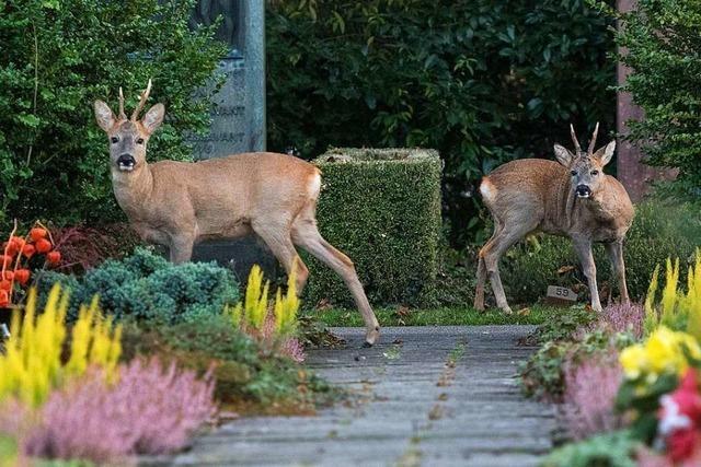 Die Friedhofs-Rehe aus Riehen dürfen vorerst weiterleben