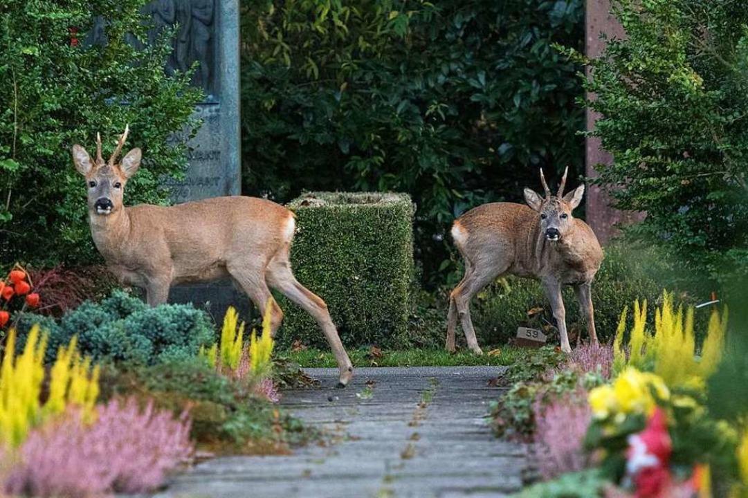 Zwei Rehe auf dem Friedhof Hörnli in Riehen.  | Foto: Stefan Leimer