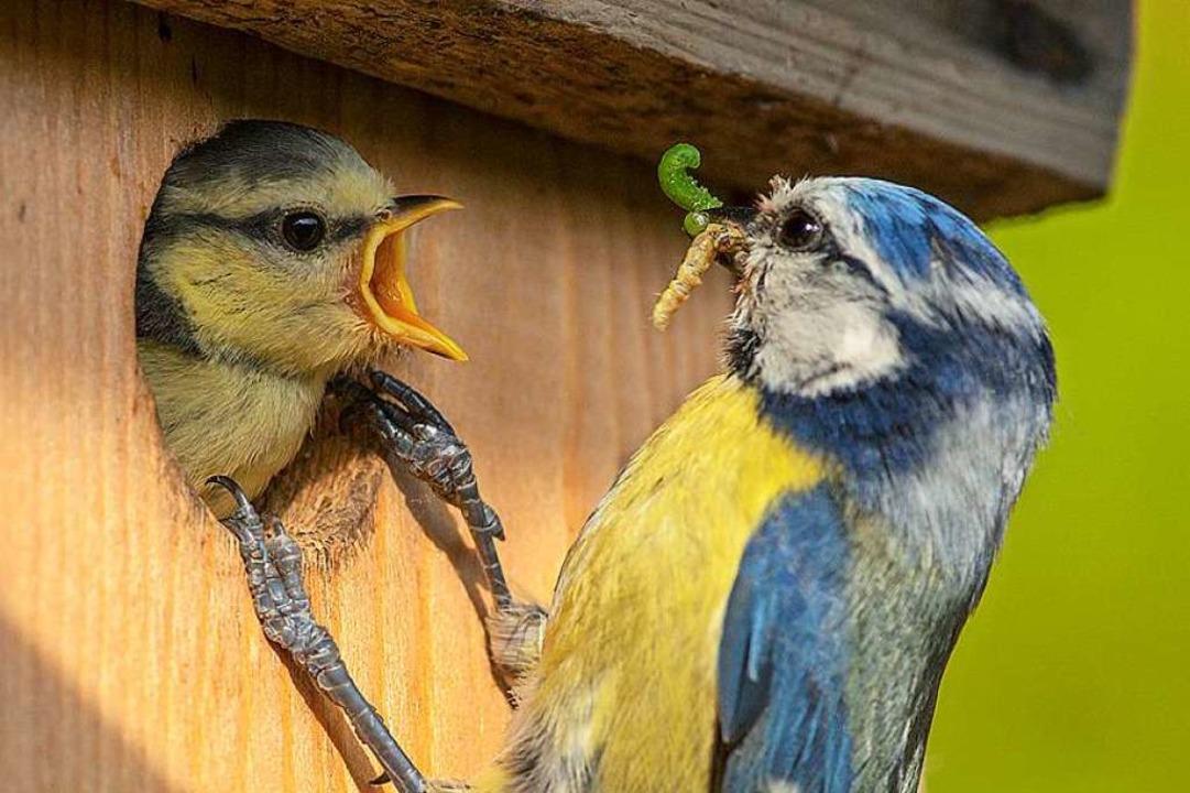 Schnabel auf: Eine Blaumeise füttert eines ihrer Jungen.  | Foto: Rita Priemer