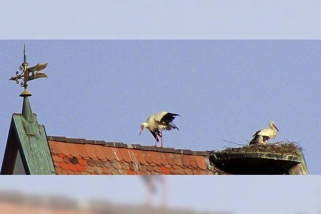 Storchen-Nachwuchs auf dem Dach der Altweiler Kirche