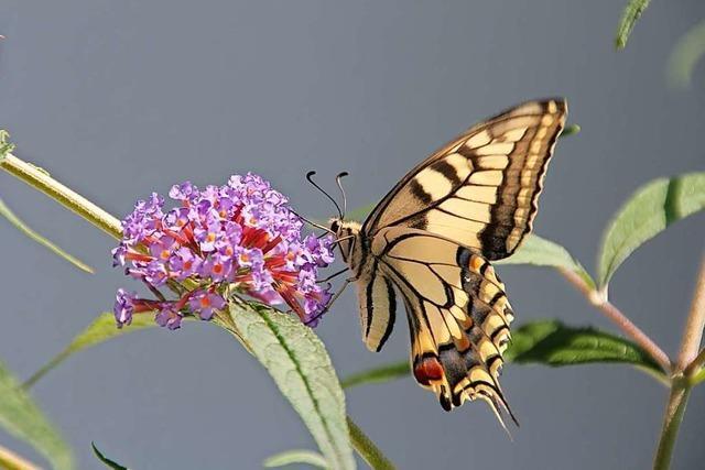 In Freiburg werden jetzt Schmetterlinge und Heuschrecken gezählt