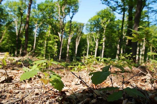 Grüne und BI erneuern ihre Kritik an Müllheimer Forstwirtschaft